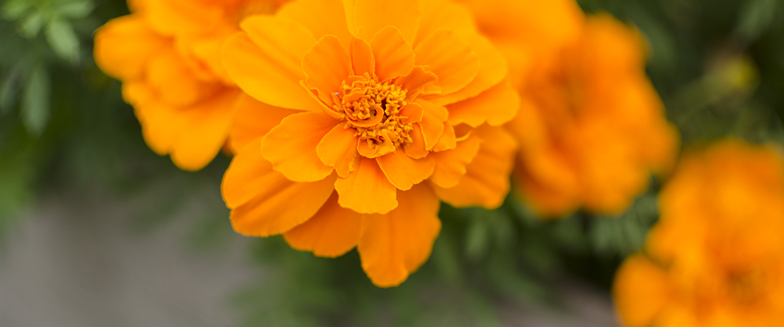 dyeing with marigolds